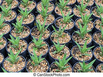 Aloe plants in a nursery