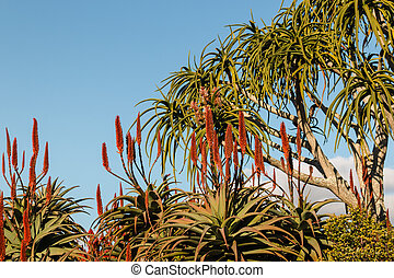 aloe tree flowers against blue sky