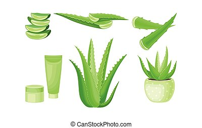 Aloe Vera as Flowering Succulent Plant with Thick Fleshy ...