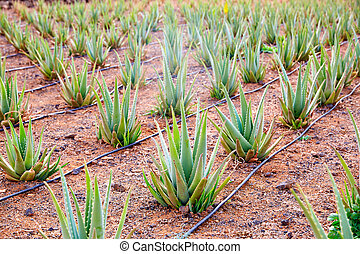 Aloe Vera field at Canary Islands Spain - Aloe Vera field at...