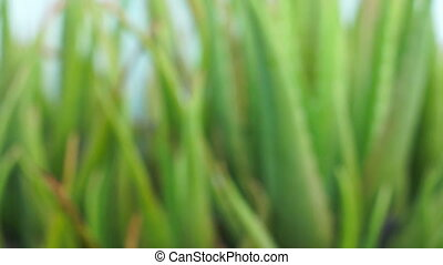 Aloe vera dolly shot focusing