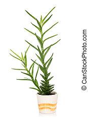 Aloe vera in a pot