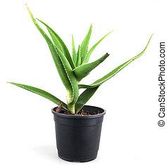 aloe vera leaves detailed