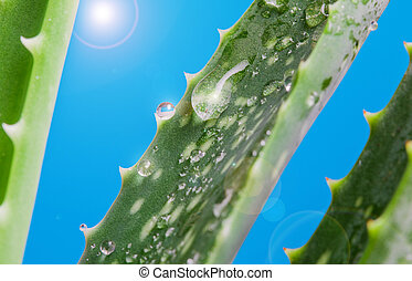 aloe vera with fresh drops of water.. A close up of green leaves, aloe vera.