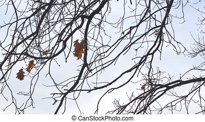 Alone dry oak leaf on a branch, swayed by the wind. Camera...