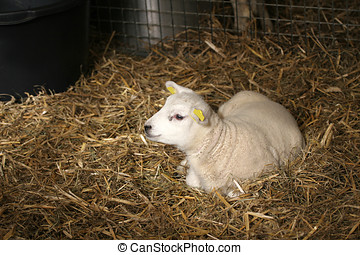 Alone in the stable - Little lamb lying in the straw