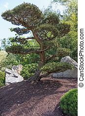 Alone pine tree in the Japanese garden