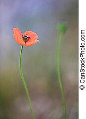 Poppy flowers on field in summer