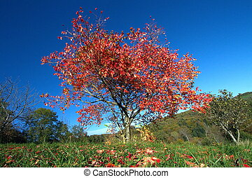 Alone red autumn tree
