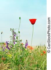 alone red flower of poppy in meadow