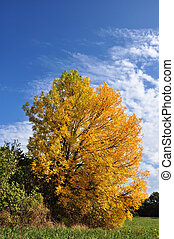 Alone yellow autumn tree in sunny weather with clouds
