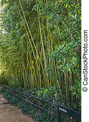 Along the footpath, high bamboo thickets behind the fence
