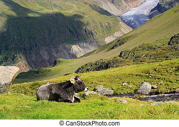 alp cow 08