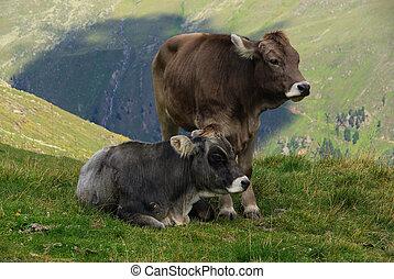 alp cow 13
