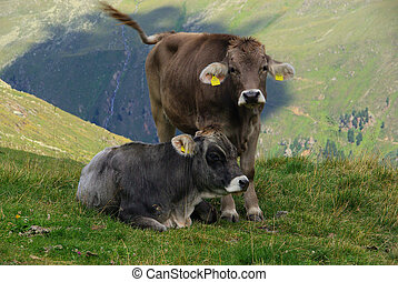 alp cow 14