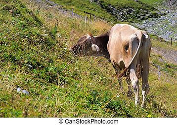 alp cow 17
