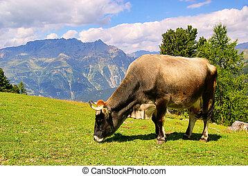 alp cow 19