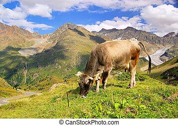 alp cow 20