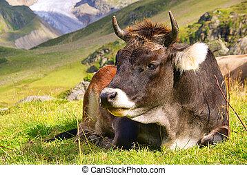 alp cow 24
