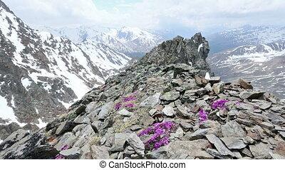 Alp flowers  over mountain