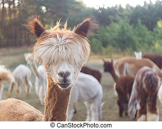 Alpaca - Beautiful alpaca (Vicugna pacos) living on farm, ...