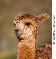 Alpaca brown in profile - An alpaca resembles a small llama...