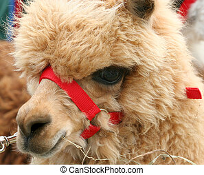 Alpaca - Face of an alpaca, renowned for its high quality ...