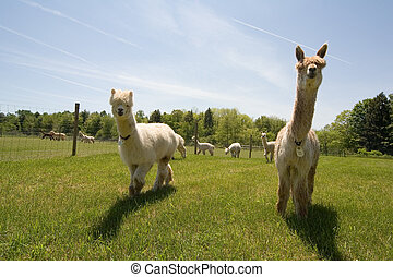 Alpaca Farm - Alpacas on a farm