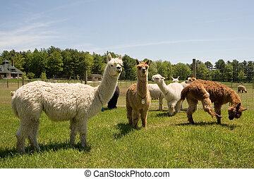 Alpaca Farm - Alpacas on a farm