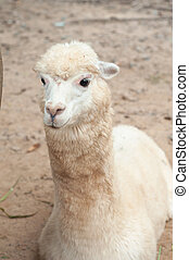 Alpaca fiber comes in 22 colors and hundreds of shades