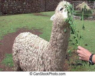 Alpaca - An Alpaca eating grass in Peru, South America