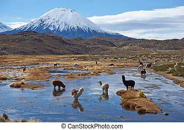 Alpaca Grazing - Alpaca grazing in a wetland area, also...