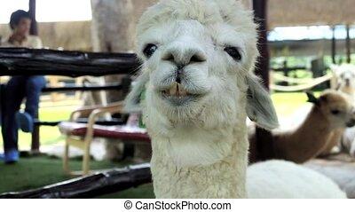 alpaca, is, het kauwen