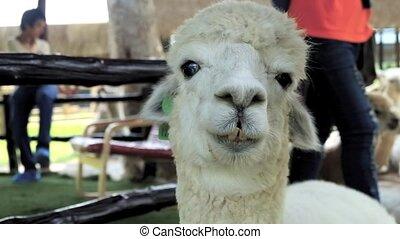 Alpaca is winking - close up Alpaca is winking