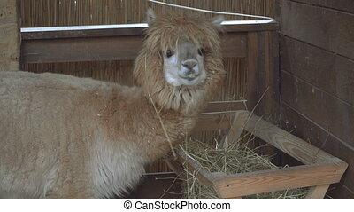 Alpaca. Muzzle of an Alpacian animal