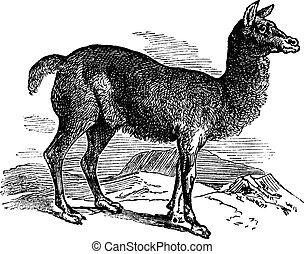 Alpaca or Vicugna pacos vintage engraving. Old engraved...