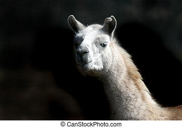 Alpaca against a dark background