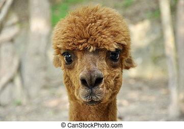 Alpaca - An alpaca is a domesticated species of South...