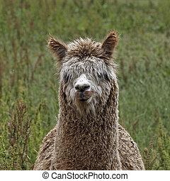 Alpaca (Vicugna pacos), Paco
