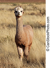 Alpaca (Vicugna pacos), domesticated species of South...