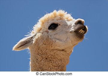 Alpaca (Vicugna pacos) - Portrait of Alpaca (Vicugna pacos),...
