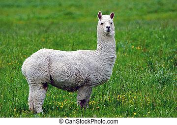 Alpaca - White alpaca, Vicugna pacos, in farm paddock,...