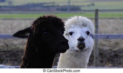 Alpacas, black and white male animals