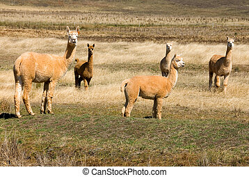Alpacas grazing in a drought-stricken paddock