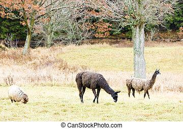 alpacas; Maine; USA
