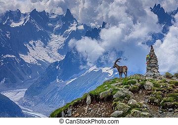 alpen, verbreidingsgebied, mont-blanc, franse , steenbok