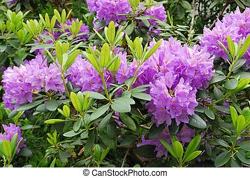alperosen, blooming