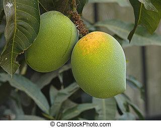 Alphonso mangoes are hanging on a tree. Mangifera indica L...