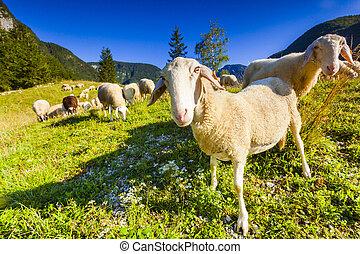 alpin, betesmarker, in, den, slovenskt, alps., triglav,...