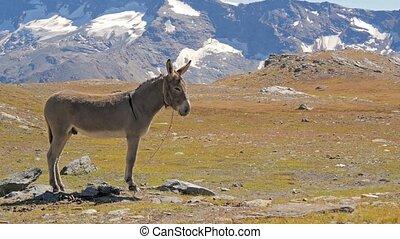 alpin, landschaftsbild, mit, maultier